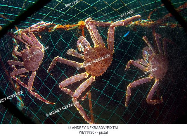 Red King Crab Paralithodes camtschaticus, Arctic, Russia, Barents sea