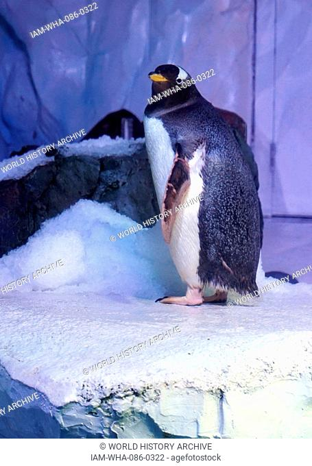 Gentoo penguin, The long-tailed Gentoo penguin is a penguin species in the genus Pygoscelis. Dated 21st Century