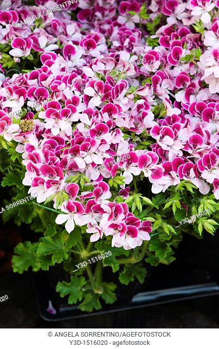 Geranium plant white and pink in a single flower