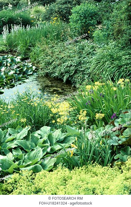 Hostas and alchemilla mollis with yellow irises and primroses on banks of stream in country garden