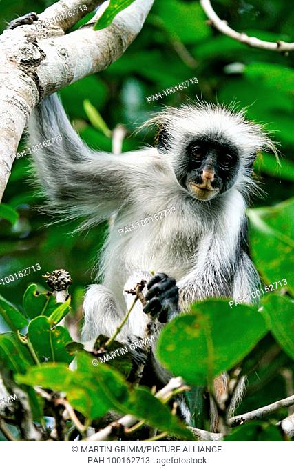 Zanzibar Red Colobus (Piliocolobus kirkii) sitting in tree in rainforest canopy, Jozani Chwaka Bay National Park, Zanzibar, Tanzania | usage worldwide