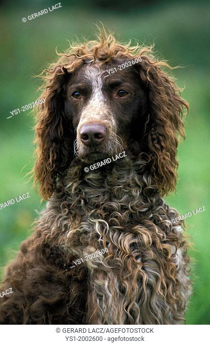 Portrait of Pont Audemer Spaniel Dog