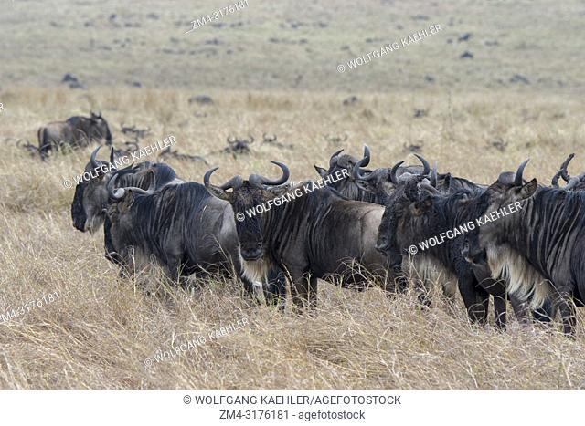 Wildebeests, also called gnus or wildebai, migrating through the grasslands towards the Mara River in the Masai Mara in Kenya