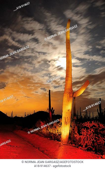 Saguaro Cactus Carnegiea gigantea tower over Saguaro National Park West in the Sonoran Desert in Tucson, Arizona, USA