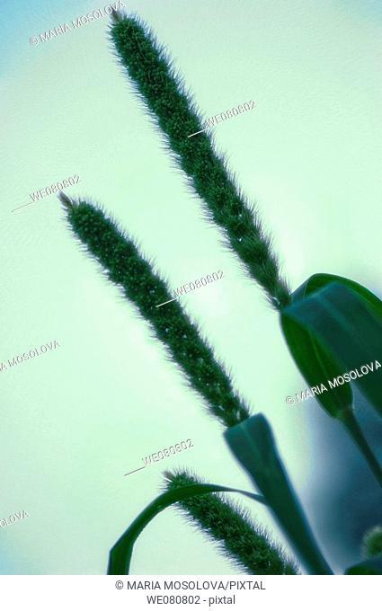 Common Millet. Panicum miliaceum. July 2007. Maryland, USA