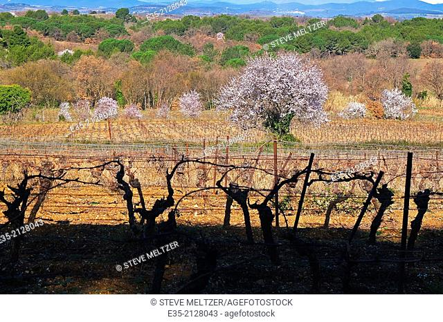 Red almond trees blossom in spring in the French Herault