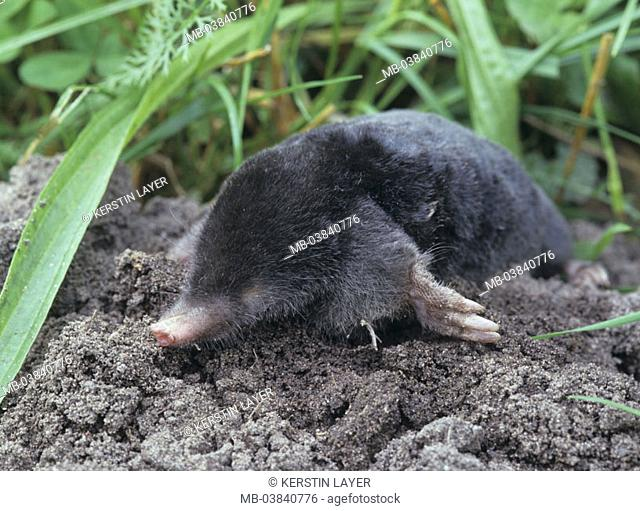 Mole, Talpa europaea