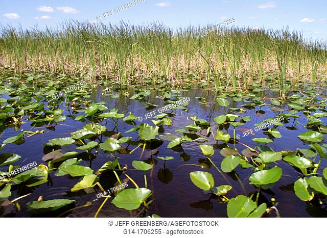 Florida, Fort Ft  Lauderdale, Everglades Wildlife Management Area, Water Conservation Area 3A, sawgrass, Cladium jamaicense, Nuphar advena, spatterdock