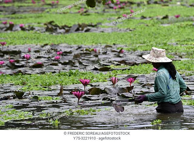 Woman harvest lotus flower on the lake in Siem Reap,Cambodia,South east Asia