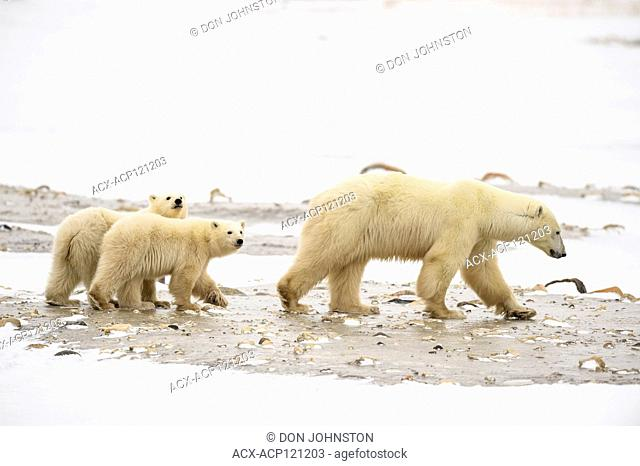 Polar Bear (Ursus maritimus) Mother and two Cubs of the Year (COY)