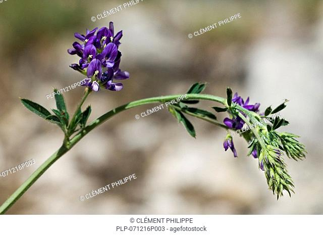Alfalfa Medicago sativa, also known as Lucerne, Purple Medic and Trefoil, Spain