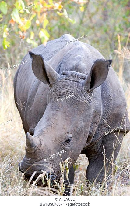 white rhinoceros, square-lipped rhinoceros, grass rhinoceros (Ceratotherium simum), eating, South Africa