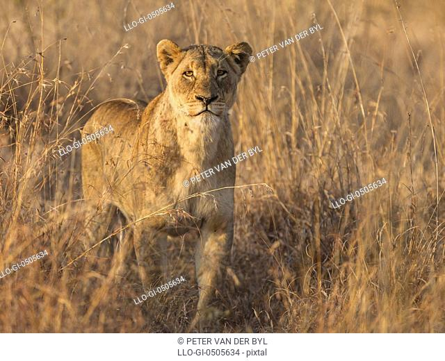 Lion - Panthera Leo, Lioness in long grass hunting early morning, Kruger National Park, Mpumalanga, South Africa