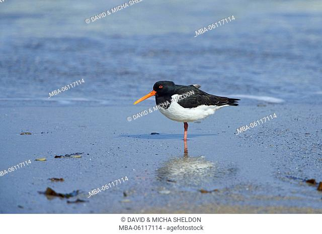 Oystercatchers, Haematopus ostralegus, at the side, stand, shore, beach, Heligoland