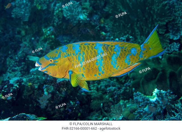 Blue-barred Parrotfish (Scarus ghobban) adult female, swimming, Padar Island, Komodo N.P., Lesser Sunda Islands, Indonesia, July