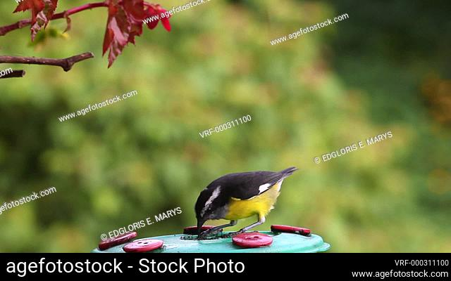 Bananaquit (Coereba flaveola) tanager bird drinking nectar from feeder in Venezuela, South America. The country hosts a total of 1, 417 bird species