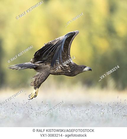 White-tailed Eagle / Sea Eagle ( Haliaeetus albicilla ) juvenile, taking off, flying away, leaving a meadow, close above ground, side view, wildlife, Europe
