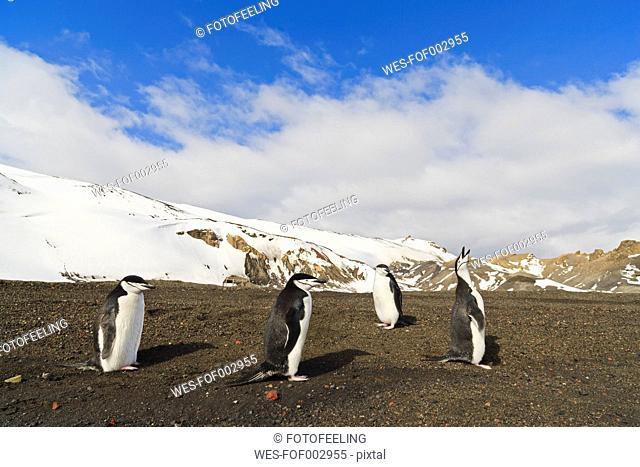 South Atlantic Ocean, Antarctica, Antarctic Peninsula, South Shetland, Deception Island, Chinstrap penguin on whalers bay