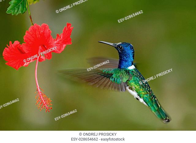 Hummingbird White-necked Jacobin, Florisuga mellivora