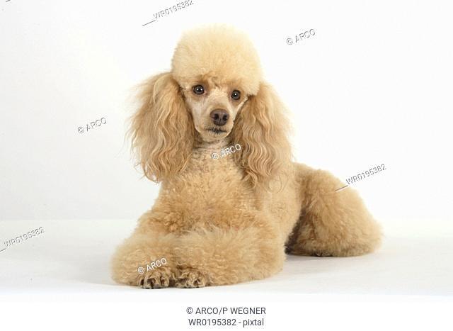 Miniature, Poodle