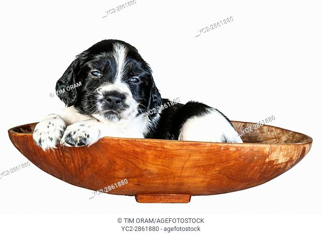 A 4 week old black and white English Springer Spaniel puppy in a basket