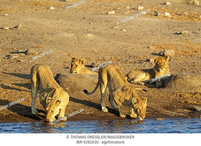 Lion (Panthera leo), two drinking females and two resting subadult male cubs at a waterhole, Etosha National Park, Namibia
