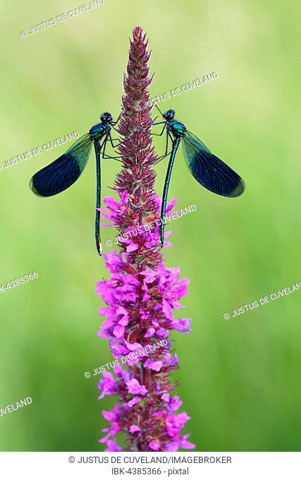 Male banded demoiselle dragonflies (Calopteryx splendens), inflorescence, purple loosestrife (Lythrum salicaria), Mecklenburg-Western Pomerania, Germany
