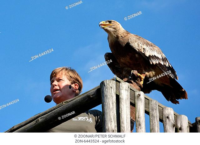 German falconer with Steppe Eagle at falconry