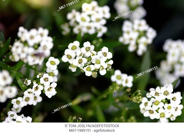 Sweet Alyssum (Lobularia maritima) flowers close up, England, UK