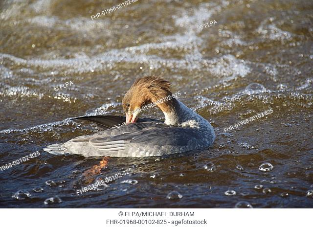 Goosander Mergus merganser adult female, preening on river, River Nith, Dumfries and Galloway, Scotland, october
