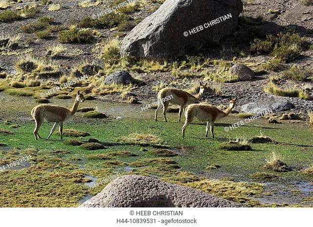 Chile, South America, Vicuna, Vicugna vicugna, near Paso Vizcacha, San Pedro de Atacama, Altiplano, Antofagasta, lands