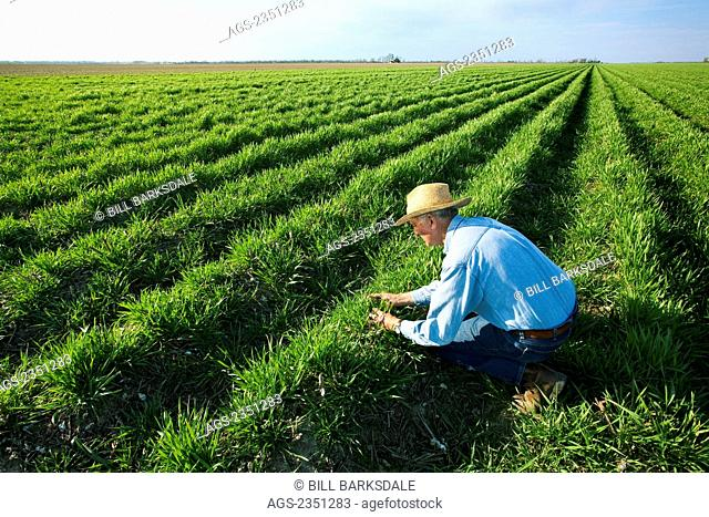 Agriculture - A farmer (grower) inspects a cover crop of annual ryegrass and winter weeds in bedded up land. This cover crop will be burned down with herbicide...