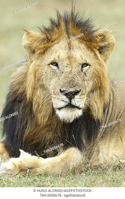 Close portrait. Lion. Panthera Leo. Kenia. Africa