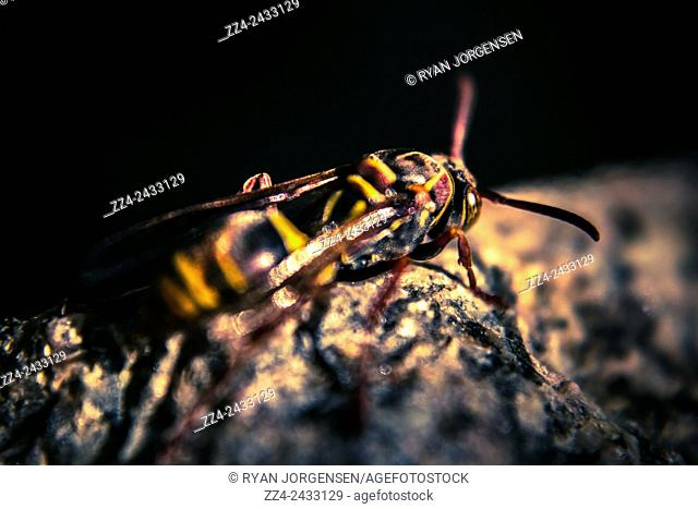 Killer wasp hunts prey in stills of camouflage bound to a rock of likeness. Sting in progress