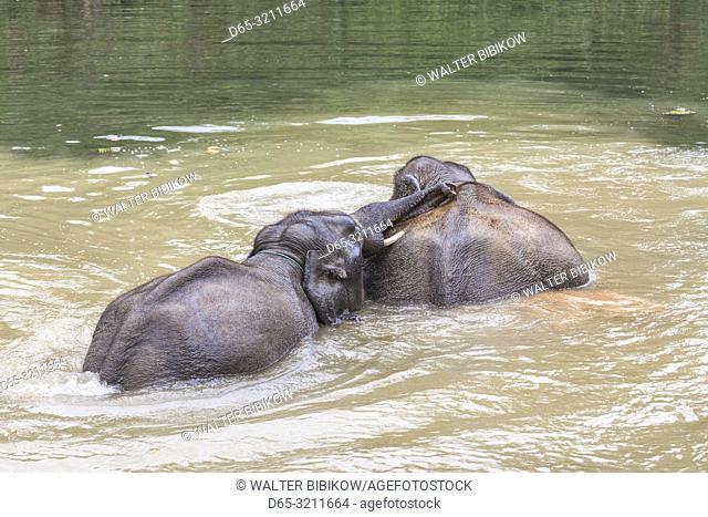 Laos, Sainyabuli, Asian elephants, elephas maximus, elephant calf bathing with mature elephant