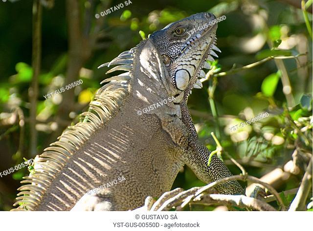 Iguana, Animal, Palmas, Tocantins, Brazil