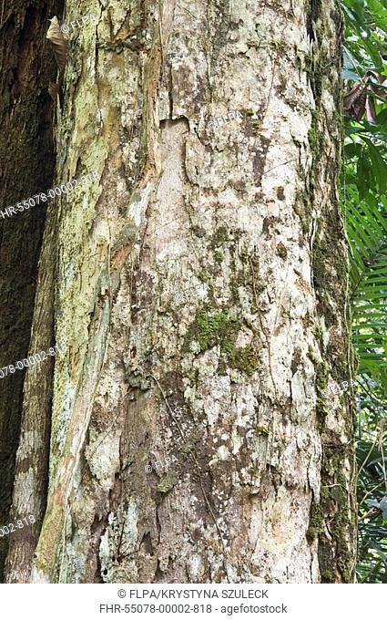 Greenheart Chlorocardium rodiei close-up of trunk, Iwokrama Rainforest, Guiana Shield, Guyana, october