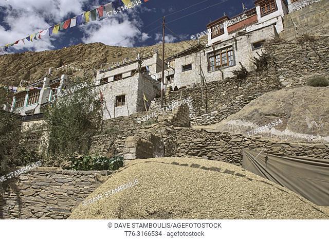 Barley harvest in Hinju village, Ladakh, India