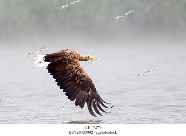 white-tailed sea eagle (Haliaeetus albicilla), adult inflight over the lake, Germany, Mecklenburg-Western Pomerania, Malchiner See