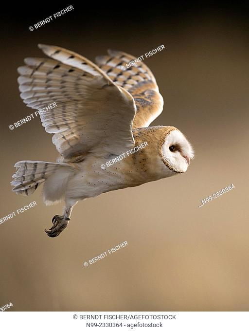 Barn owl (Tyto alba), flying, Czech Republic