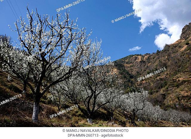 plum trees, ghat, kasauli, himachal pradesh, India, Asia