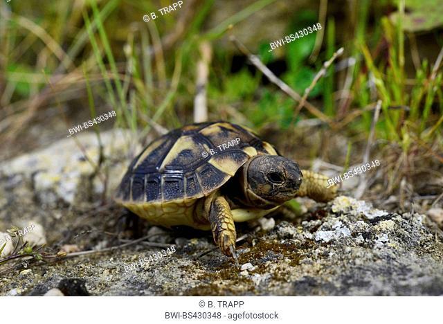 Hermann's tortoise, Greek tortoise (Testudo hermanni), juvenile in its habitat, Spain, Balearen, Menorca