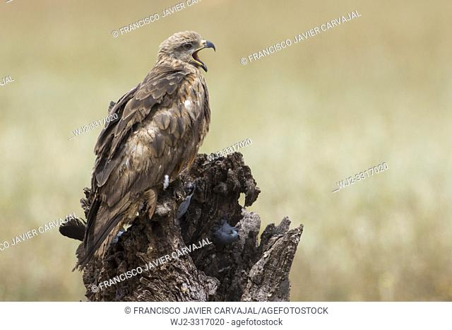 Black Kite (Milvus migrans), perched and yawning in a pasture in Extremadura, Spain