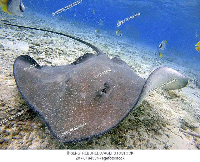 Sting rays in the shallow waters of the Bora Bora lagoon, Moorea, French Polynesia, Society Islands, South Pacific. Cook's Bay