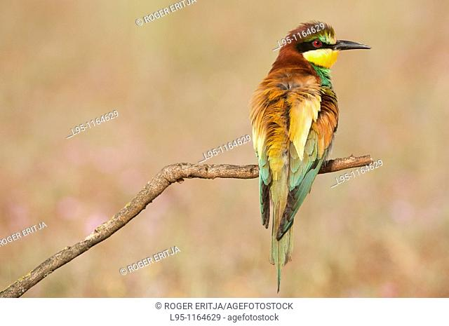 European Beeeater Merops apiaster perched in the surroundings of the nest in breeding season, Spain