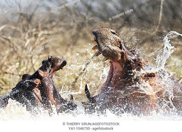 Two males hippos fighting in water (Hippopotamus amphibius). Baringo lake, Kenya