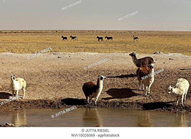 Lamas in the Puna Desert, Salta Province, Argentina, South America