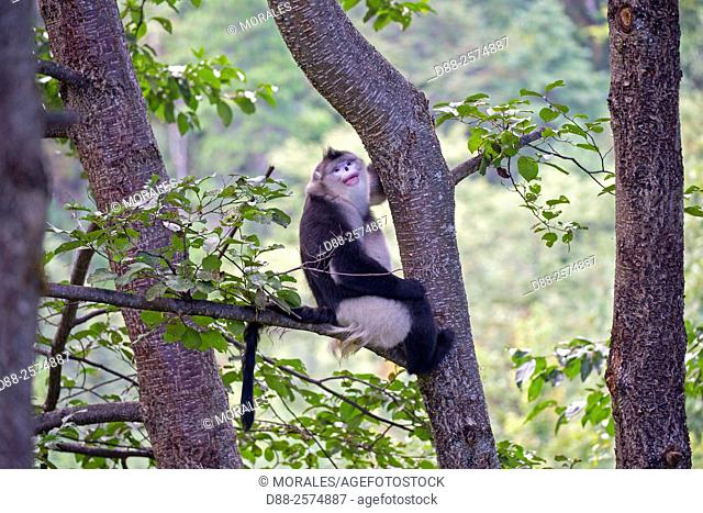 Asia, China, Yunnan province, Yunnan Snub-nosed Monkey Rhinopithecus bieti, in a tree