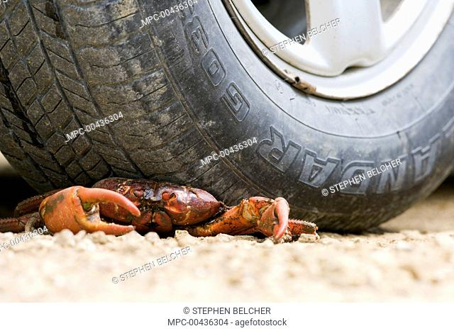 Christmas Island Red Crab (Gecarcoidea natalis) crushed by car while trying to cross road, Christmas Island, Australia