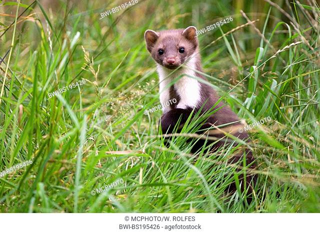 Beech marten, Stone marten, White breasted marten (Martes foina), hunting in a meadow, Germany, Lower Saxony